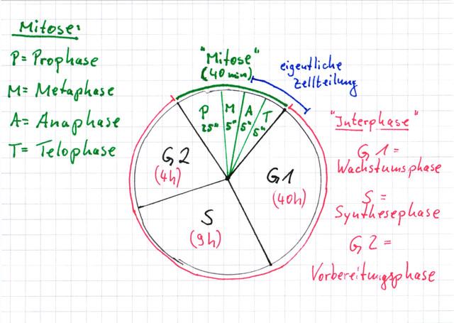 Der Zellzyklus u01c0 Lernwerk TV