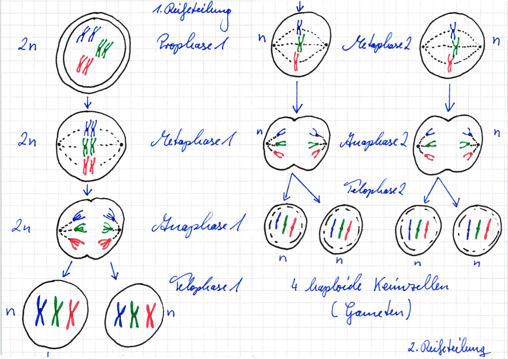 Meiose: schematische Zeichnung ǀ Lernwerk TV